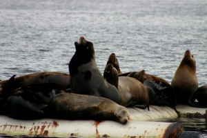 Fanny Bay Sea Lion